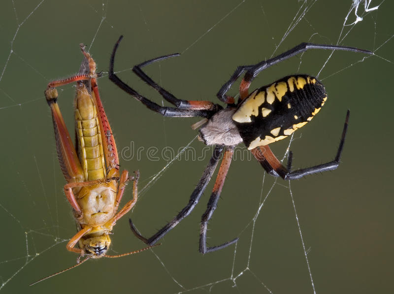 Argiope spider with hopper in web. A female argiope spider is closing in on a hopper that is caught in her web stock photography