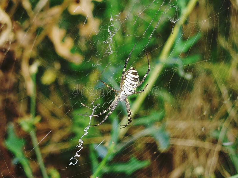 Argiope Spider is making web. Argiope bruennichi, spider weaves a web and ready to begine hunting. The best weaver stock image