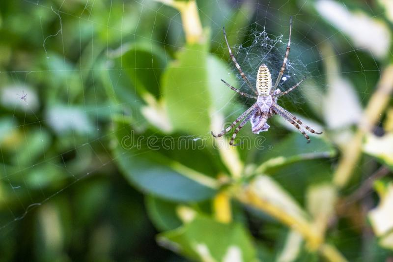 Argiope spider with a prey. Argiope spider on an orb web with a prey, in Krum, Bulgaria royalty free stock photos