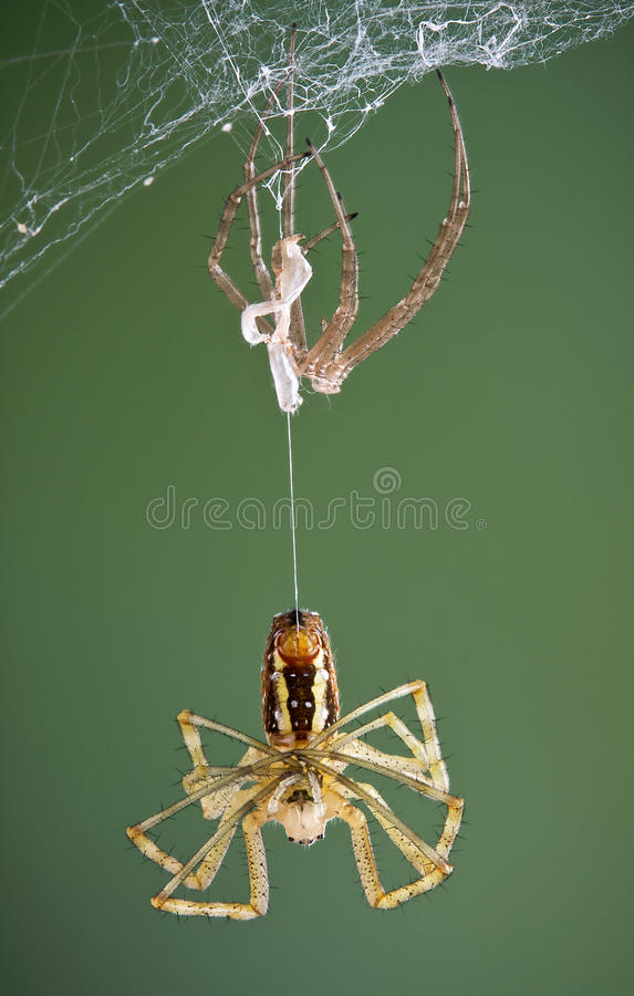 Argiope spider after shedding. An argiope spider is hanging from its recently shed skin royalty free stock photos