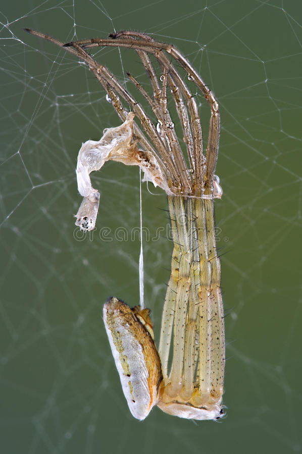 Argiope spider shedding. An argiope spider is shedding its skin stock photos