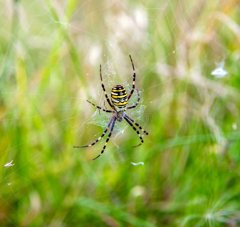 Argiope spider. Sits on the web in the grass stock photos