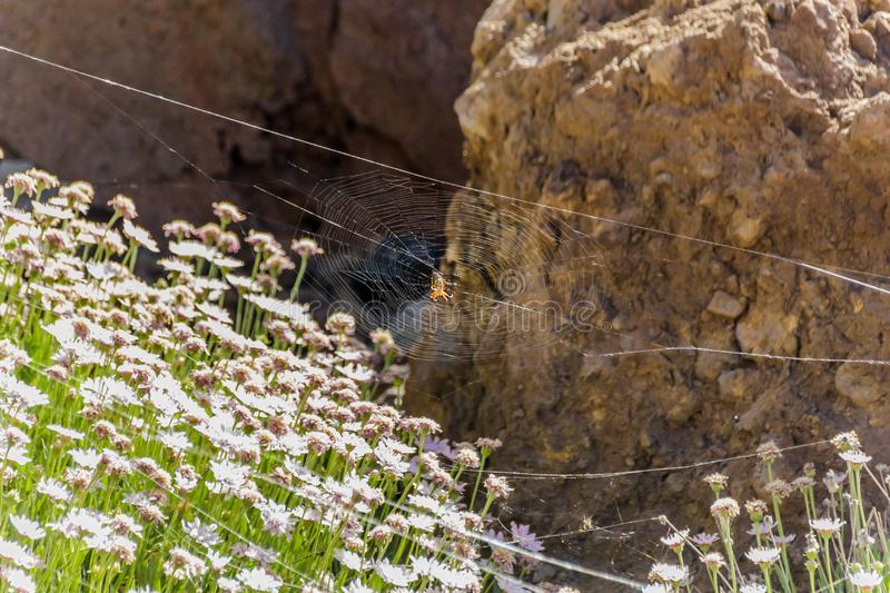 Argiope trifasciata spider hid in the center of its web above the endemic mountain flowers. Close up, blurred lava rocks in the stock photography