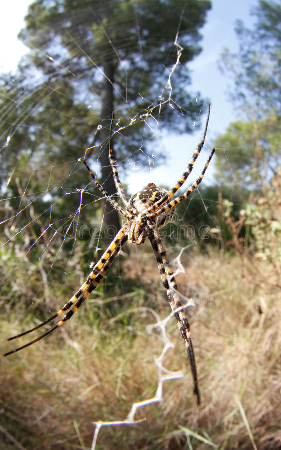 Argiope on web. An argiope spider species seen on his web with typical silk hank down at bellver forest in the spanish balearic island of Majorca royalty free stock image
