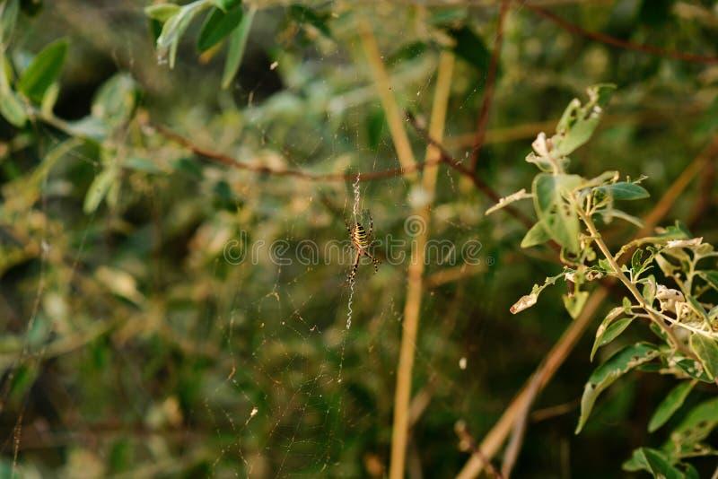 Argiopebruennichien är art av orb-rengöringsduken spindeln som är utdelad genom hela Centraleuropa, Nordeuropa, Nordafrika, delar arkivfoto
