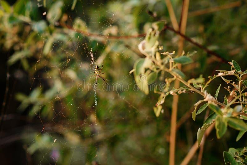 Argiopebruennichien är art av orb-rengöringsduken spindeln som är utdelad genom hela Centraleuropa, Nordeuropa, Nordafrika, delar royaltyfri foto