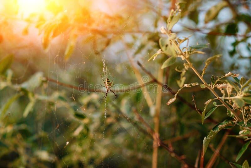 Argiopebruennichien är art av orb-rengöringsduken spindeln som är utdelad genom hela Centraleuropa, Nordeuropa, Nordafrika, delar royaltyfria bilder