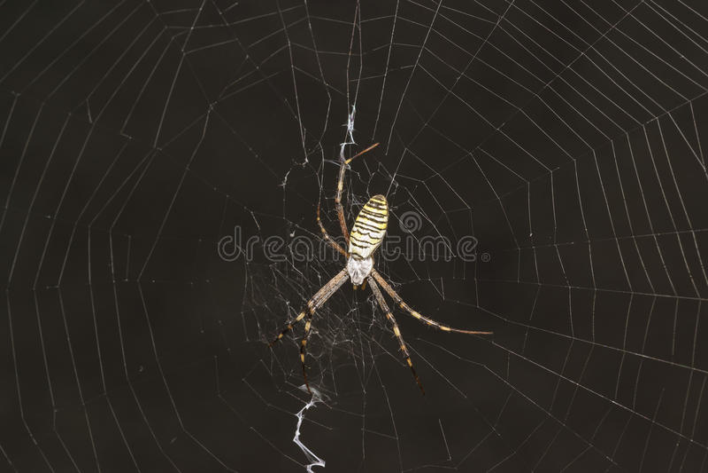 Argiopen Bruennichi eller spindel-Wasp - beskåda araneomorphspindlar av familjen av Orb-rengöringsduken spindellaten Araneidae arkivfoto