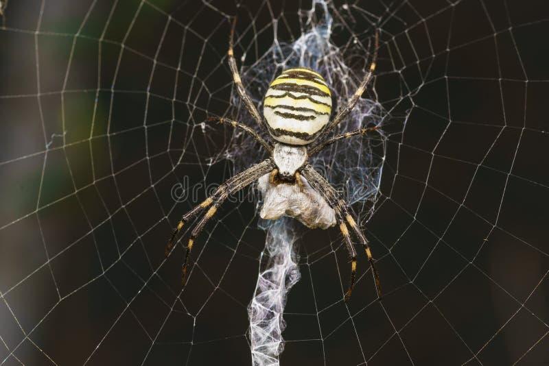 Argiopen Bruennichi eller spindel-Wasp - beskåda araneomorphspindlar av familjen av Orb-rengöringsduken spindellaten Araneidae -  royaltyfria bilder