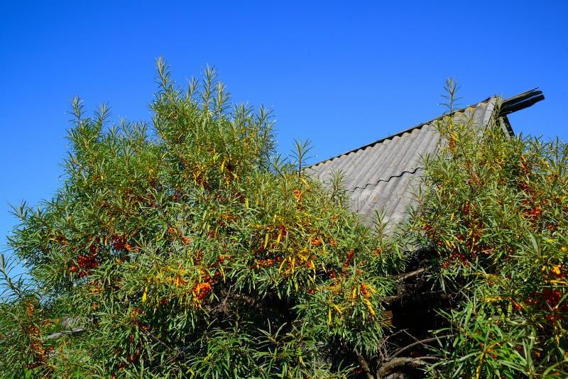 Argousier et vieux toit image stock