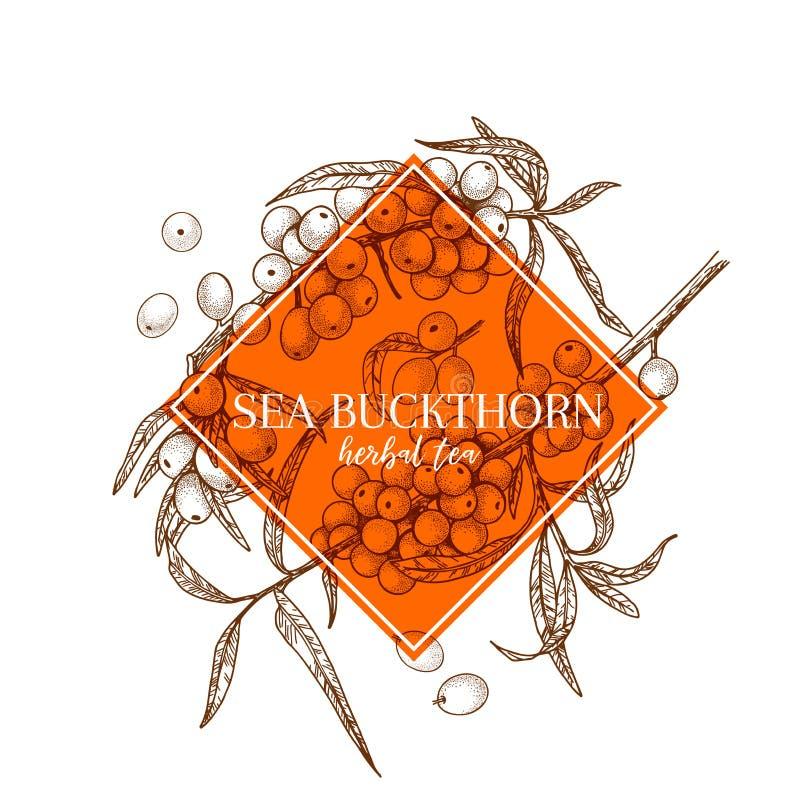 Argousier tiré par la main Bannière gravée de vecteur curatif Ingrédient de nourriture, aromatherapy, faisant cuire Pour le paque illustration stock