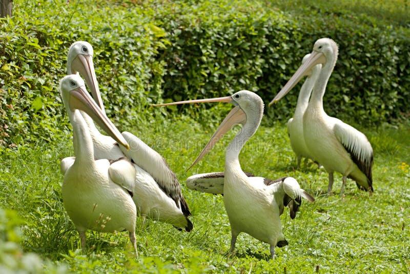 Argumentierung von australischen Pelikanen stockfoto