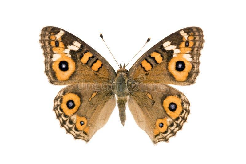 argus motyli junonia łąki villida zdjęcie stock