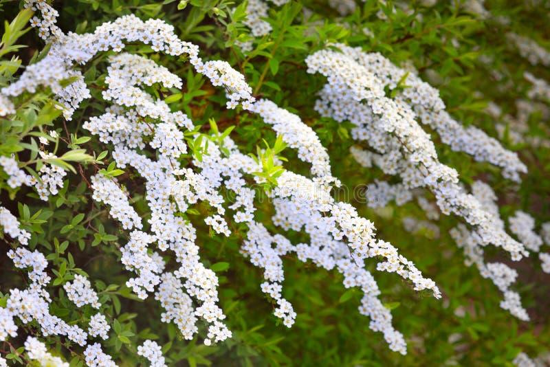 Arguta del spiraea de las flores blancas en la primavera 1 foto de archivo