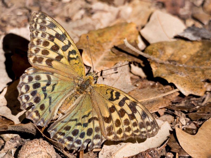 Argynnis Pandora de la mariposa en la estación del otoño imagenes de archivo