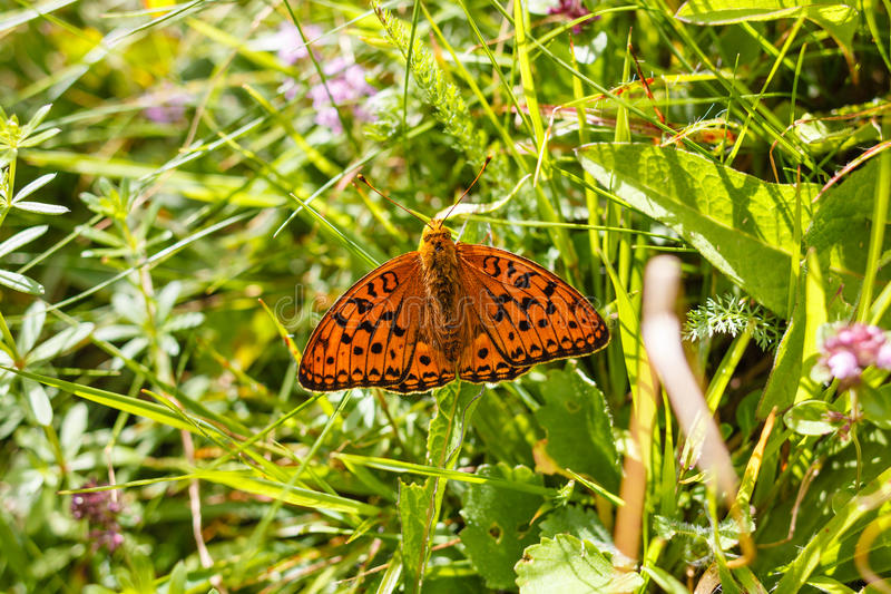 Download Argynnis Paphia Butterfly In A Meadow Stock Image - Image: 83721569