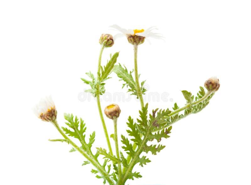 Argyranthemum adauctum stock images