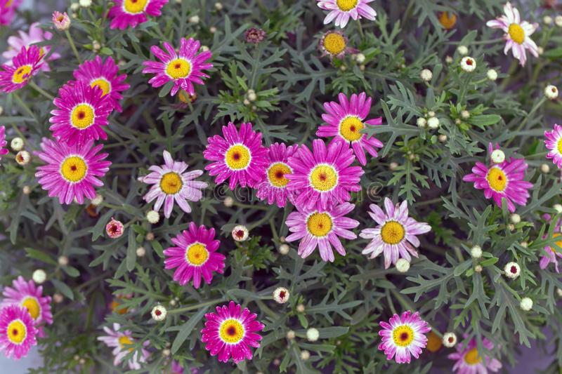 View From Top of Marguerita Daisy or Argyranthemum Wild Garden Flower Pink with Natural Light. royalty free stock image