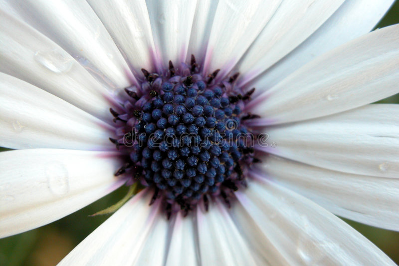 Argyranthemum branco imagens de stock royalty free