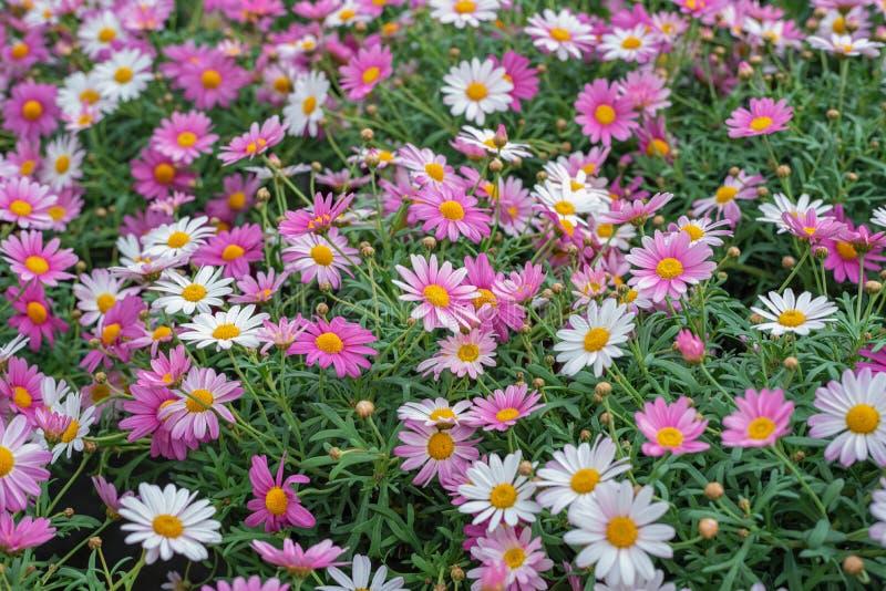 Argyranthemum frutescens,巴黎雏菊,延命菊,延命菊雏菊 庭院的,公园四季不断的植物 风景设计观念 免版税库存照片
