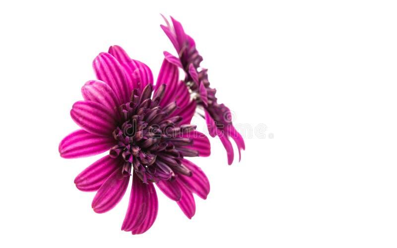 Argyranthemum coloring isolated stock photos