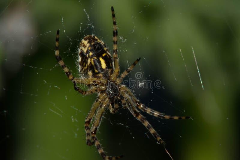 Arhipop spindel Spindlar - Arhiopa är ganska gemensam royaltyfri fotografi