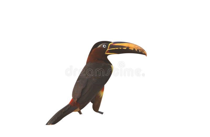 ari Castanha-orelhudo do ½ do ¿ de Araï, castanotis de Pteroglossus imagem de stock