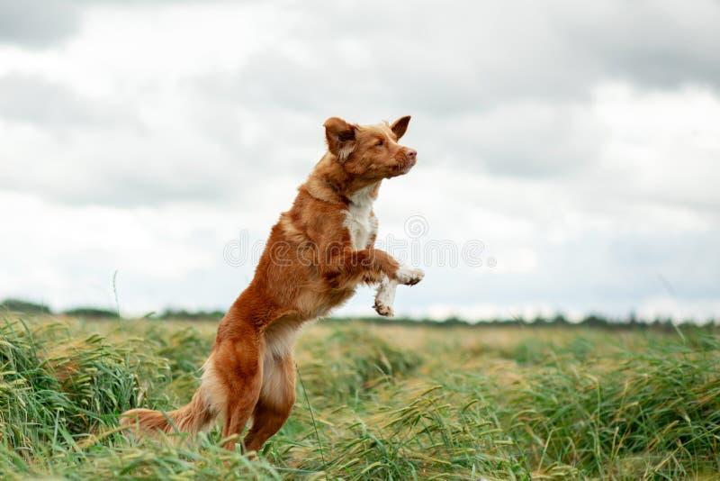 Aria aperta del cane di Nova Scotia Duck Tolling Retriever nei salti dei giacimenti di grano fotografia stock