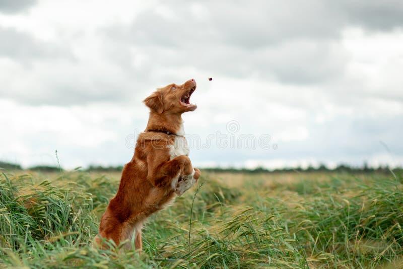 Aria aperta del cane di Nova Scotia Duck Tolling Retriever nei salti dei giacimenti di grano immagine stock