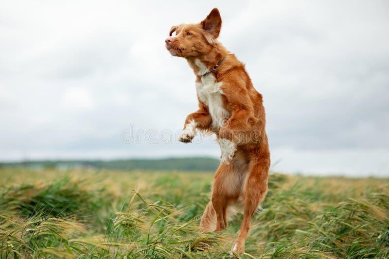 Aria aperta del cane di Nova Scotia Duck Tolling Retriever nei salti dei giacimenti di grano fotografia stock libera da diritti