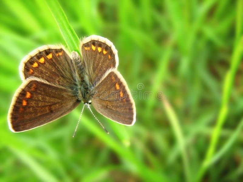 Aricia agestis, brązu Argus motyl zdjęcia royalty free