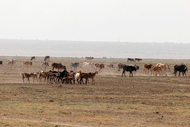 Dry plain with livestock. An arid and dry plain with livestock in eastern Africa royalty free stock images