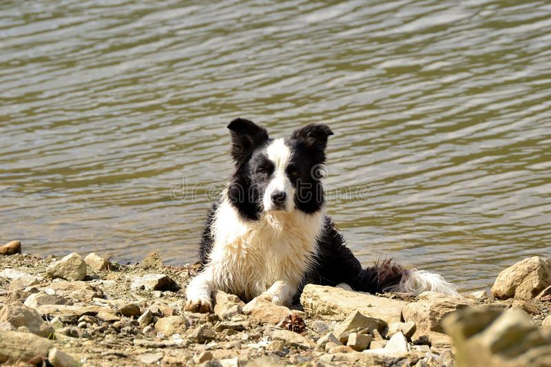 Border collie on lake royalty free stock photos
