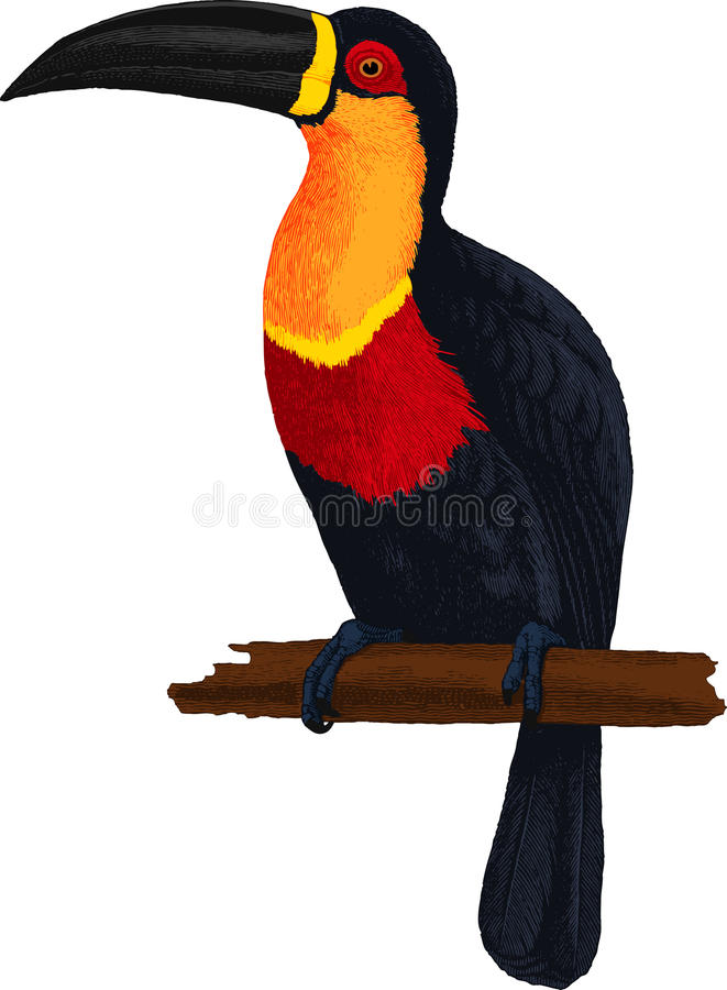 Ariel toucan. Bird. Vector. Ariel toucan. Colorful tropical bird royalty free illustration