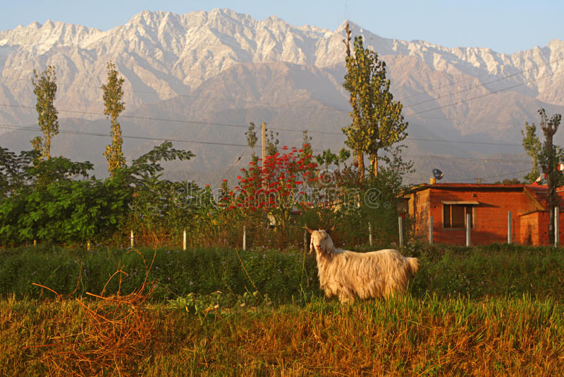 aries ινδικό βουνό των Ιμαλαίων  στοκ εικόνα με δικαίωμα ελεύθερης χρήσης