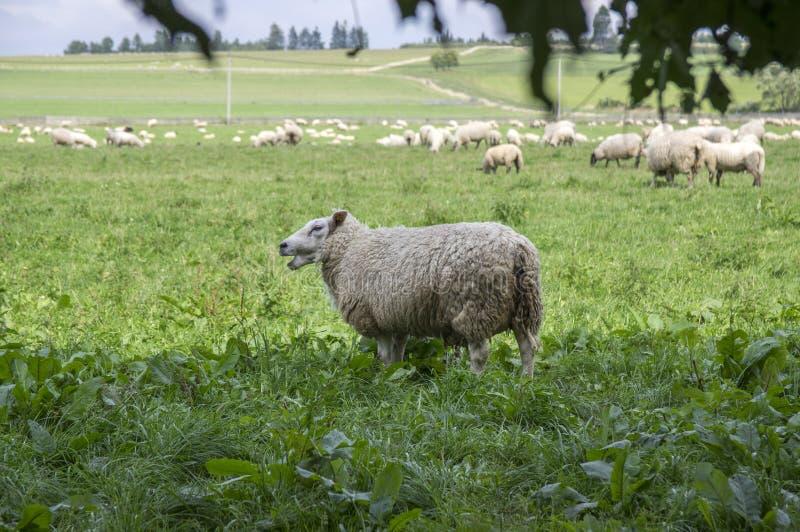 Aries comum do ovis dos carneiros do branco que pasta no pasto fotos de stock