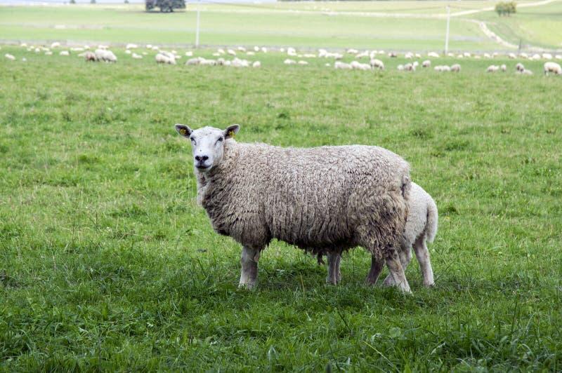 Aries comum do ovis dos carneiros do branco que pasta no pasto, contato de olho imagem de stock royalty free