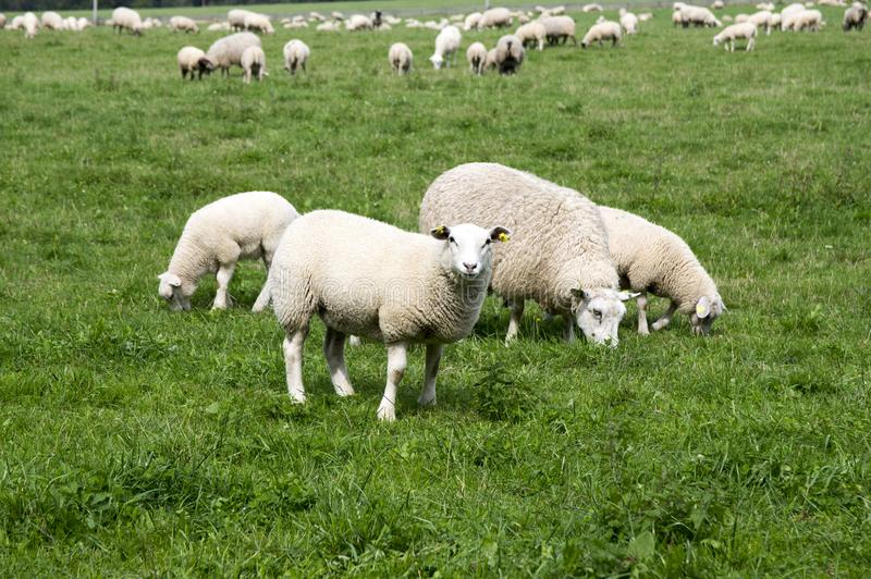 Aries comum do ovis dos carneiros do branco que pasta no pasto, contato de olho fotos de stock