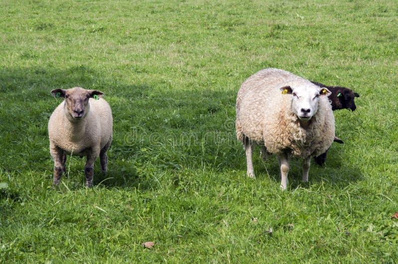 Aries comum do ovis dos carneiros do branco que pasta no pasto, contato de olho foto de stock
