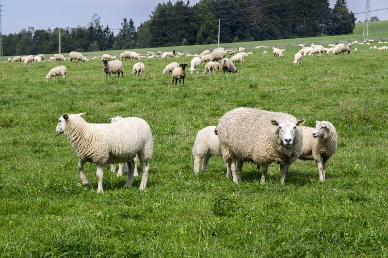 Aries comum do ovis dos carneiros do branco que pasta no pasto, contato de olho imagens de stock royalty free
