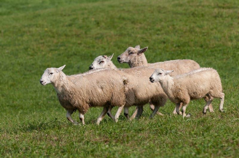Aries do Ovis de quatro carneiros corrido perto imagens de stock royalty free