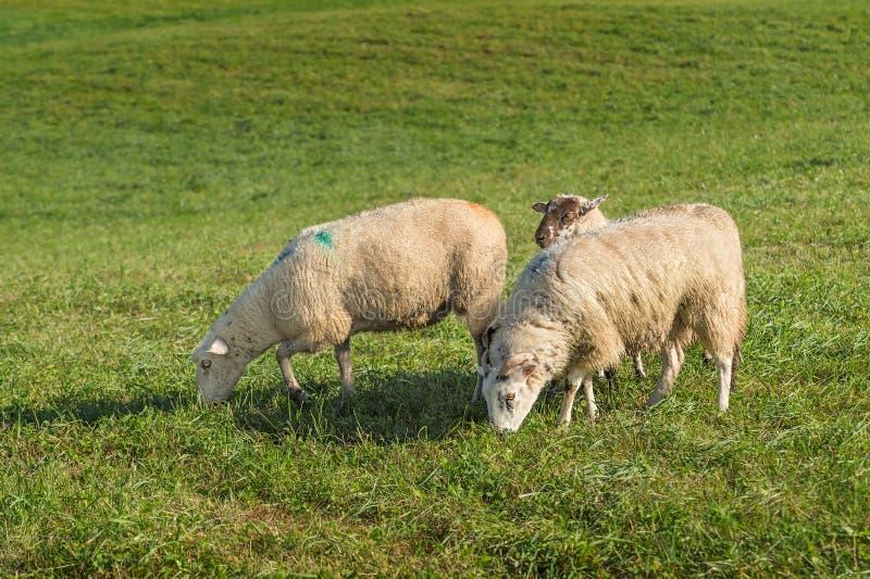 Aries do Ovis dos carneiros que pasta imagem de stock