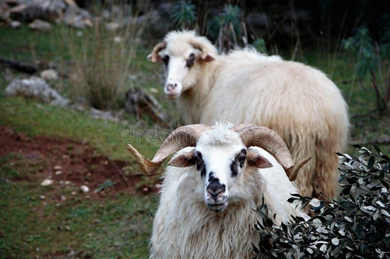 Aries w dobrej firmie przy gospodarstwem rolnym obrazy royalty free