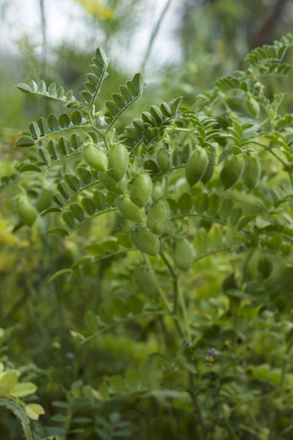 Arietinum del Cicer del garbanzo - la planta leguminosa de la legumbre crece en el jardín Vainas verdes, planta útil Fondo foto de archivo