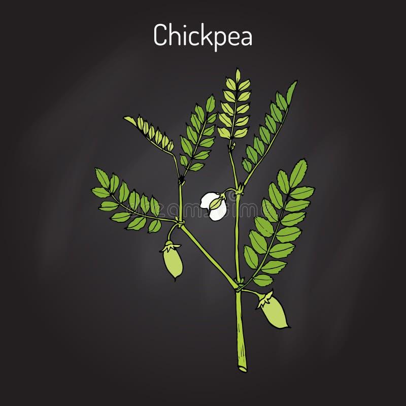 Arietinum do Cicer do grão-de-bico, ou grama de bengal, feijão do grão-de-bico, ervilha egípcia ilustração royalty free
