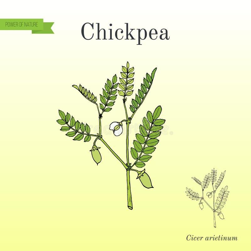 Arietinum do Cicer do grão-de-bico, ou grama de bengal ilustração do vetor