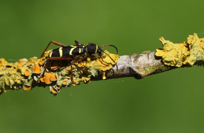 Arietis hermosos de la avispa de un Clytus del escarabajo que se encaraman en una rama cubierta en liquen fotografía de archivo
