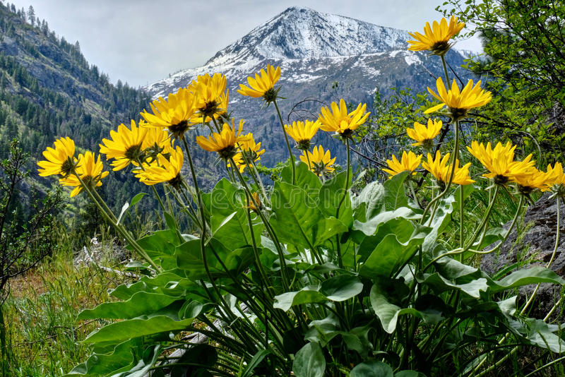 Arinca in alpine meadows. Balsamroot or sunflowers in Cascade Mountains. Leavenworth. Seattle. WA. United States stock images