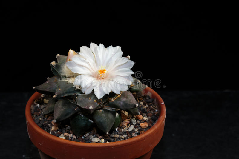 Ariocarpus fotografia stock