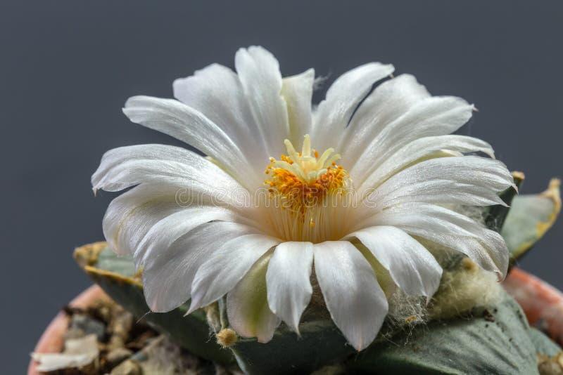 Ariocarpus immagine stock libera da diritti